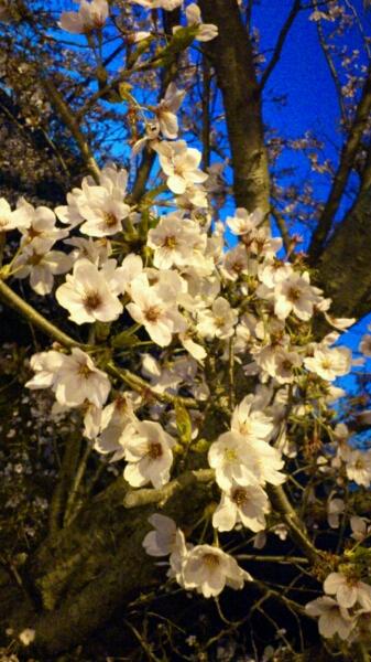 〔日記〕今日の桜_d0249867_2033448.jpg
