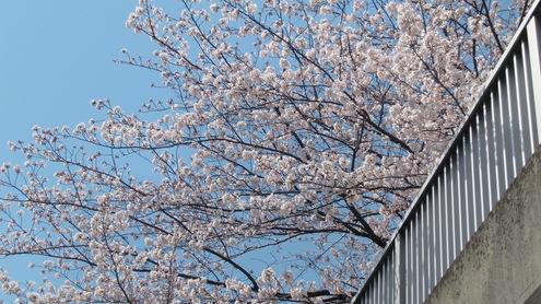 水彩都市江東に桜満開_c0249569_16324830.jpg