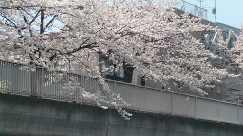 水彩都市江東に桜満開_c0249569_16362641.jpg