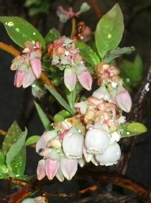 やっと本格的にブルーベリーが咲き始めました _f0018078_19275477.jpg
