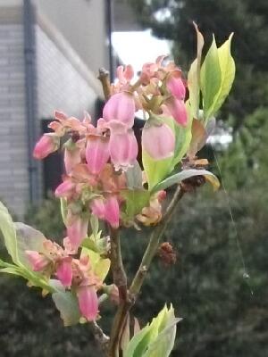 やっと本格的にブルーベリーが咲き始めました _f0018078_19281553.jpg
