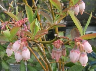 やっと本格的にブルーベリーが咲き始めました _f0018078_19282672.jpg