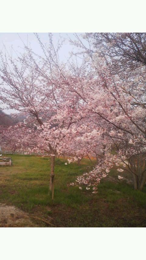 桜_b0201492_8465283.jpg
