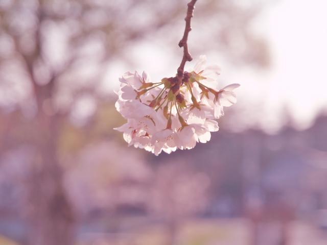 桜・桜・桜_f0024992_88214.jpg