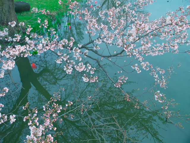 桜・桜・桜_f0024992_883867.jpg