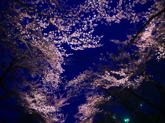 桜・桜・桜_f0024992_885167.jpg