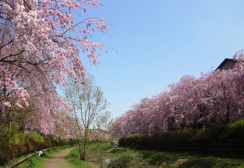 小金井の桜(野川沿い、武蔵野公園、野川公園、多磨霊園)_e0223735_14485872.jpg