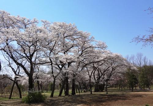 小金井の桜(野川沿い、武蔵野公園、野川公園、多磨霊園)_e0223735_1448639.jpg