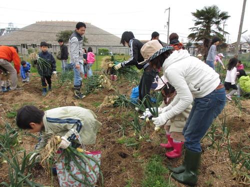 玉ねぎの収穫」_f0079749_913193.jpg