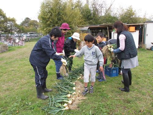 玉ねぎの収穫」_f0079749_91447100.jpg