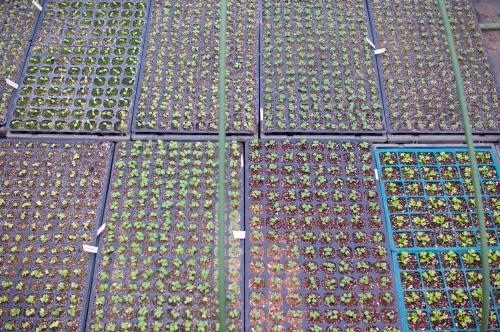 菜っ葉ものの発芽とレタス苗。最近の気候。_c0110869_7214922.jpg