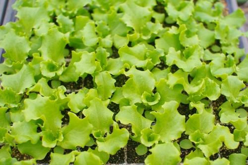 菜っ葉ものの発芽とレタス苗。最近の気候。_c0110869_722761.jpg