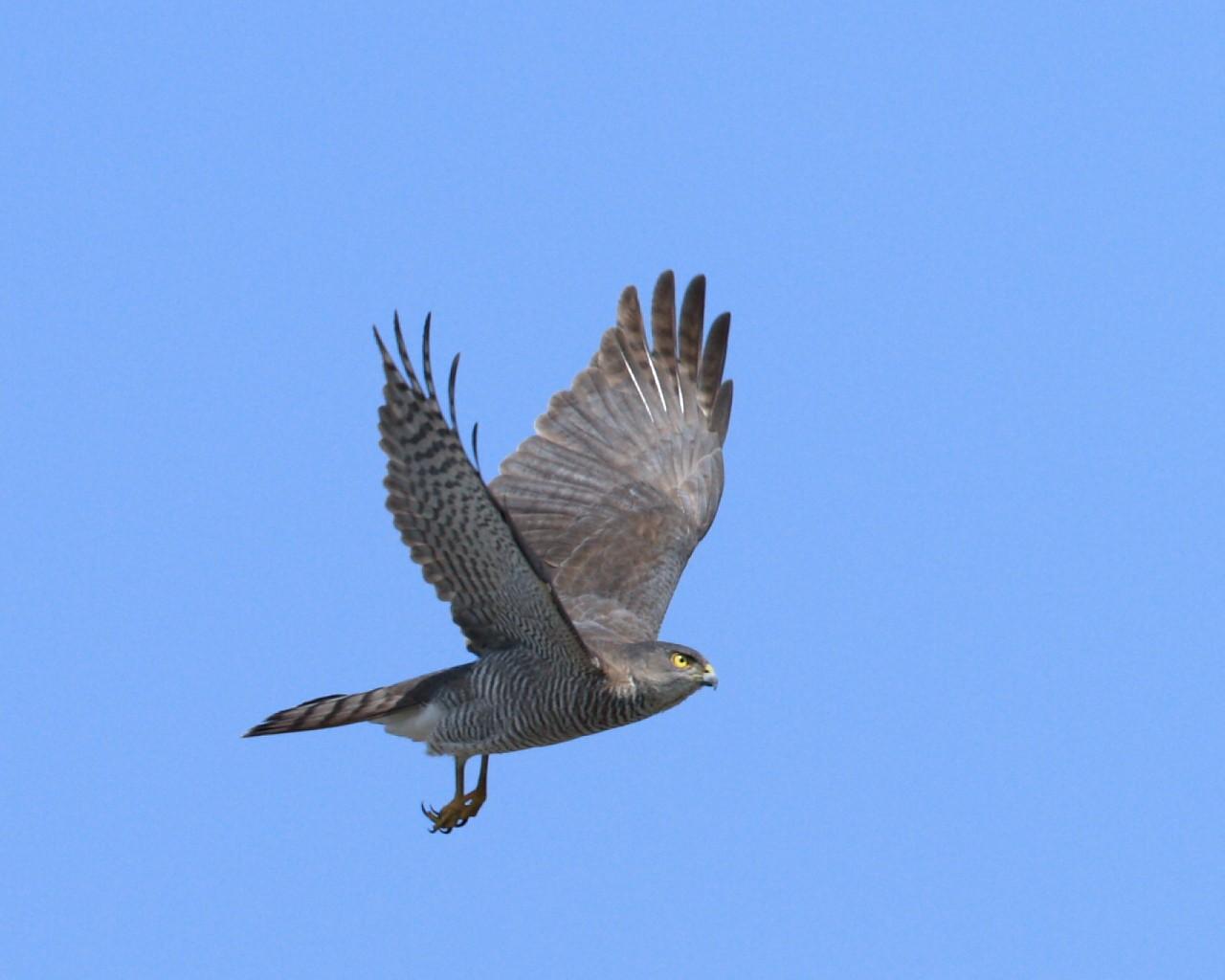ツミ雌飛翔_f0105570_2236327.jpg