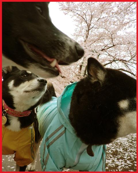 桜雨。青山は、春の盛りに突入です。_e0236072_2433371.jpg