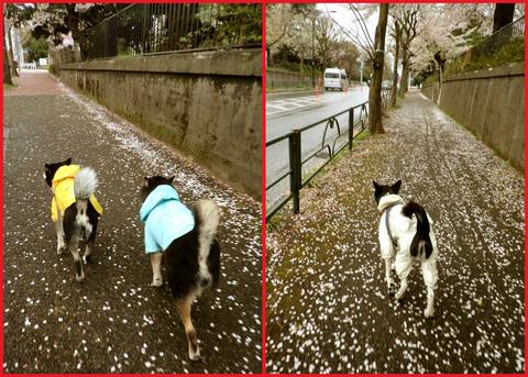 桜雨。青山は、春の盛りに突入です。_e0236072_245430.jpg