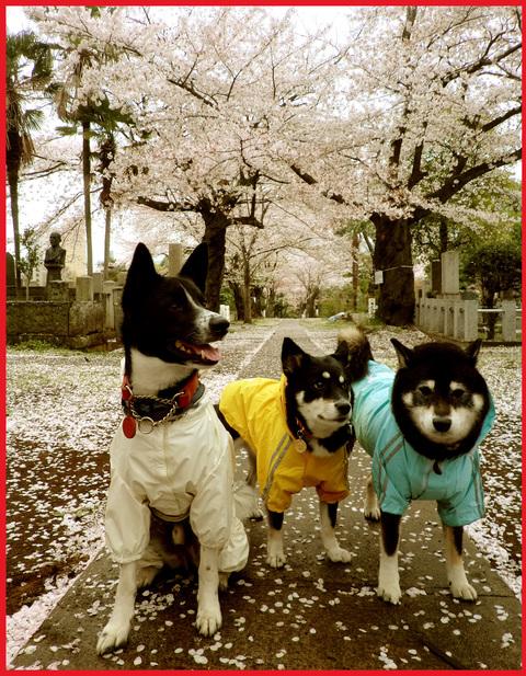 桜雨。青山は、春の盛りに突入です。_e0236072_2474392.jpg