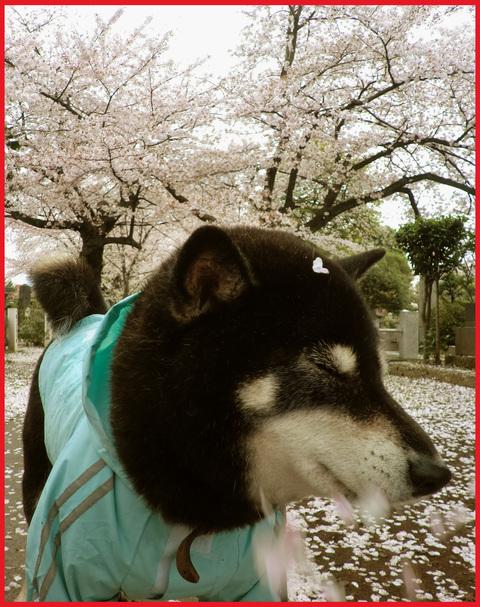 桜雨。青山は、春の盛りに突入です。_e0236072_2521733.jpg