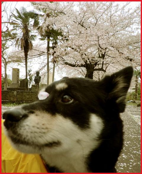 桜雨。青山は、春の盛りに突入です。_e0236072_2532138.jpg