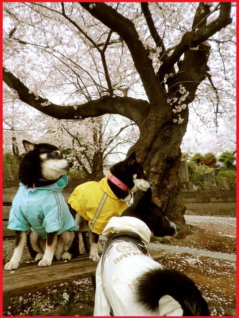 桜雨。青山は、春の盛りに突入です。_e0236072_2581710.jpg