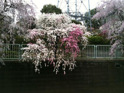 お花見_e0248573_1634631.jpg