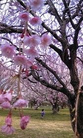 お花見ウォーキング_e0202182_21432896.jpg