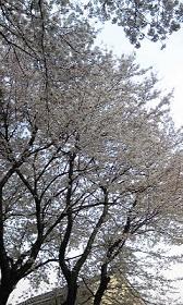 お花見ウォーキング_e0202182_21433860.jpg