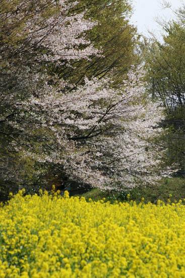 菜の花畑と、シジュウカラ_f0030085_21141729.jpg