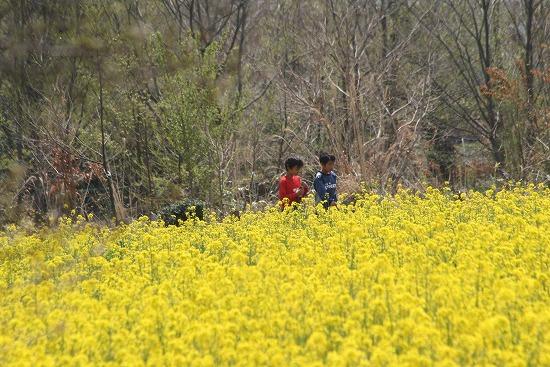 菜の花畑と、シジュウカラ_f0030085_21191947.jpg