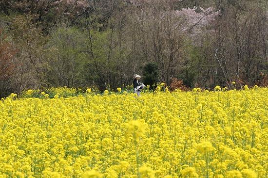 菜の花畑と、シジュウカラ_f0030085_21193937.jpg