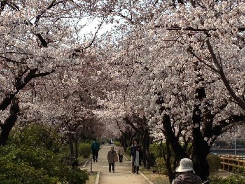 「桜」諸々画像_f0201286_15555528.jpg
