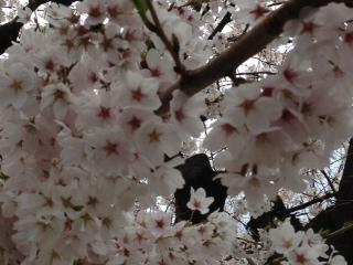 「桜」諸々画像_f0201286_1556256.jpg