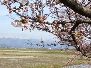 「桜」諸々画像_f0201286_1625598.jpg