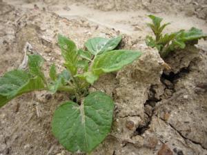 ようやくジャガイモの芽が出ました!_d0120421_16292619.jpg