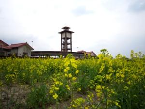 体験農園の菜の花_d0120421_16505952.jpg
