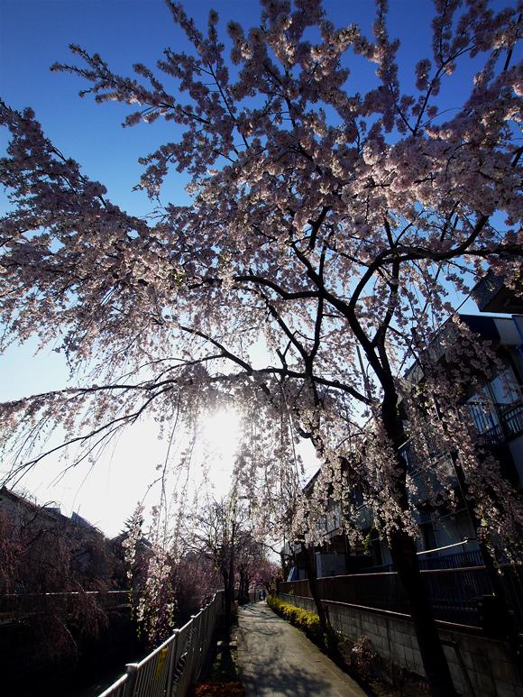 桜_e0216133_21574699.jpg