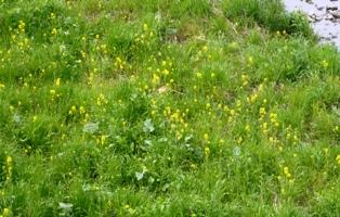 菜の花とアラジン_e0230141_16535434.jpg