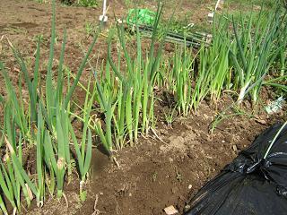 畑の整備_a0139242_5132424.jpg