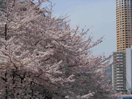 春・・・満開_c0095143_1381231.jpg