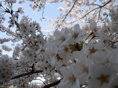 春・・・満開_c0095143_139244.jpg