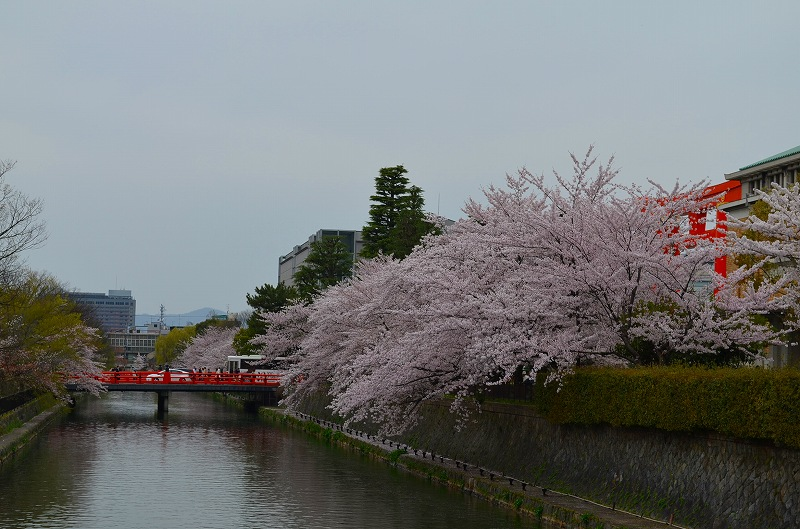 平安神宮周辺の桜便り_e0237645_16261510.jpg
