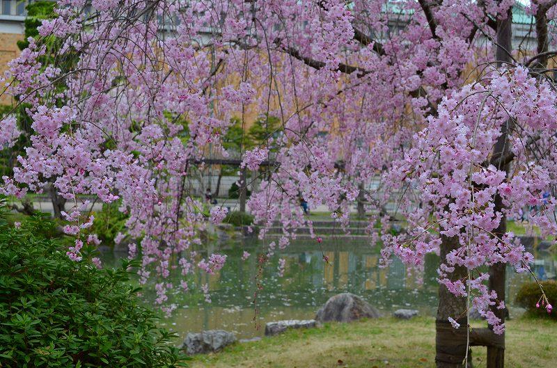 平安神宮周辺の桜便り_e0237645_16262737.jpg