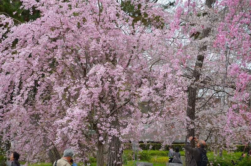 平安神宮周辺の桜便り_e0237645_16265640.jpg