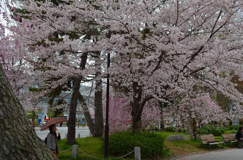 平安神宮周辺の桜便り_e0237645_1627937.jpg