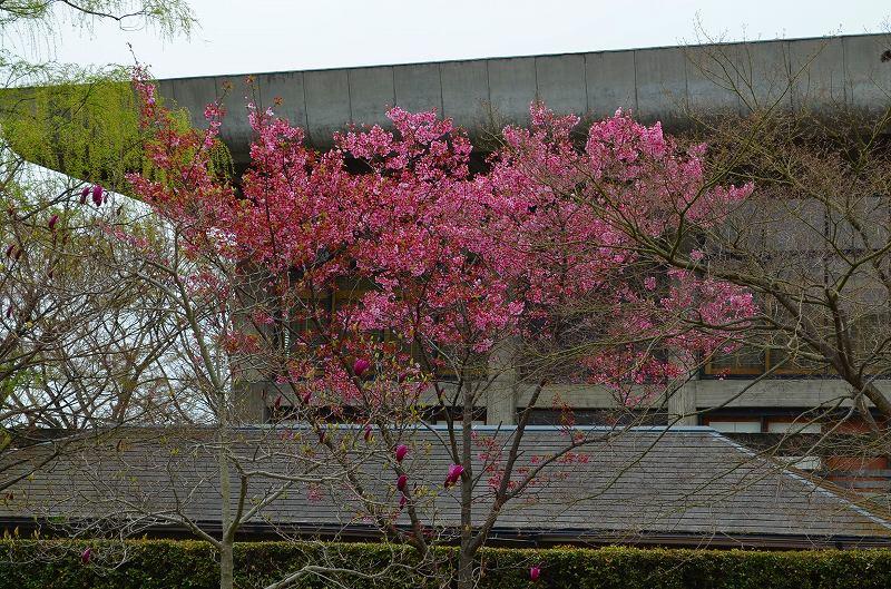 平安神宮周辺の桜便り_e0237645_16282885.jpg