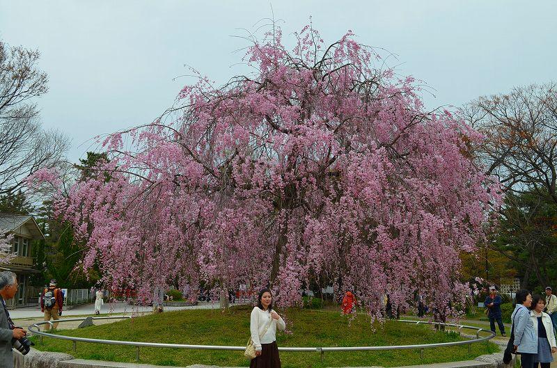 平安神宮周辺の桜便り_e0237645_16293651.jpg