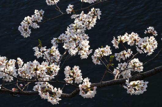桜(1)_c0093046_1645371.jpg