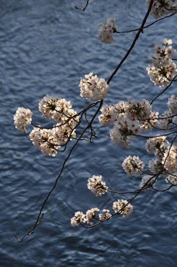 桜(1)_c0093046_16455585.jpg