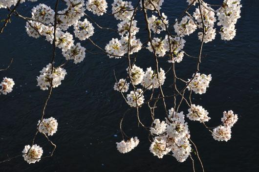 桜(1)_c0093046_1645854.jpg