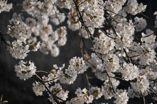 桜(1)_c0093046_16463151.jpg