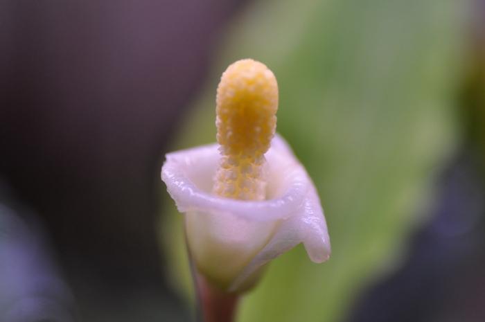 """Bucephalandra sp.\""""Simunjan\"""" #1_e0213248_2322595.jpg"""